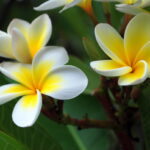 LIST OF FLOWERS THAT HAVE SACRED VALUE IN HINDU RELIGION